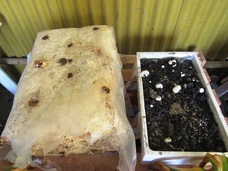 Coltivare i funghi in casa